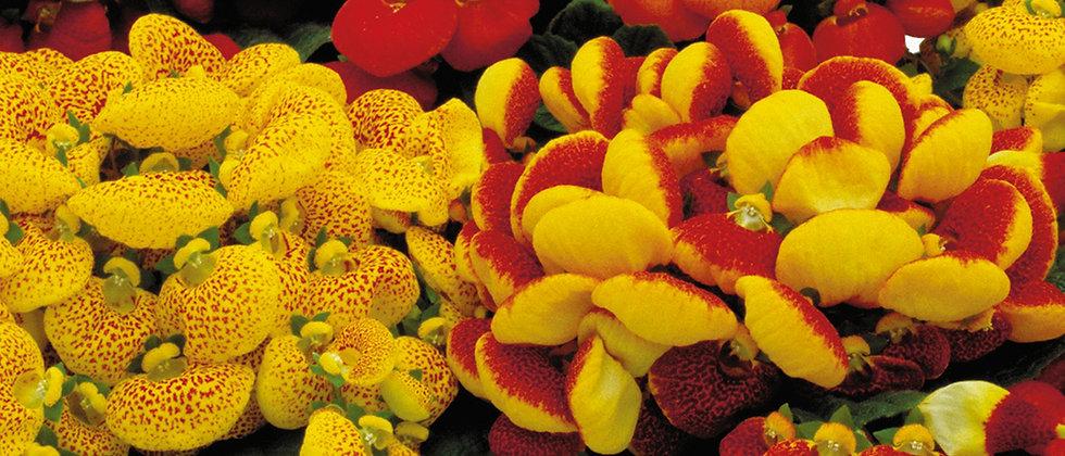 Calceolaria F1