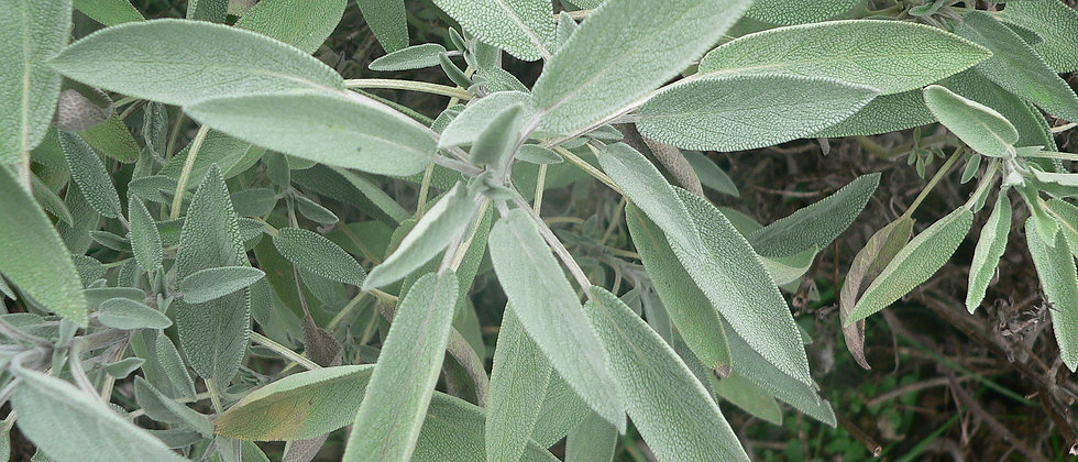 Salvia Officinalis MP