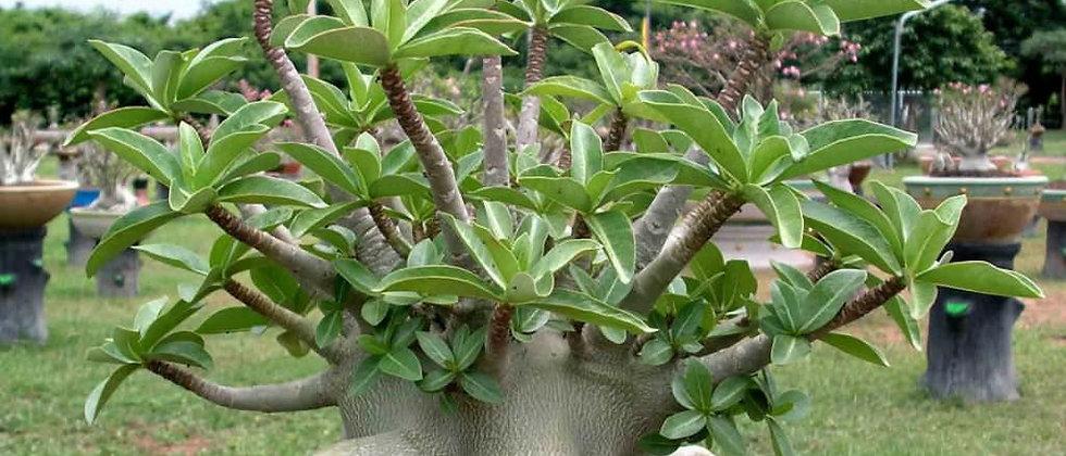 AdeniumArabicum