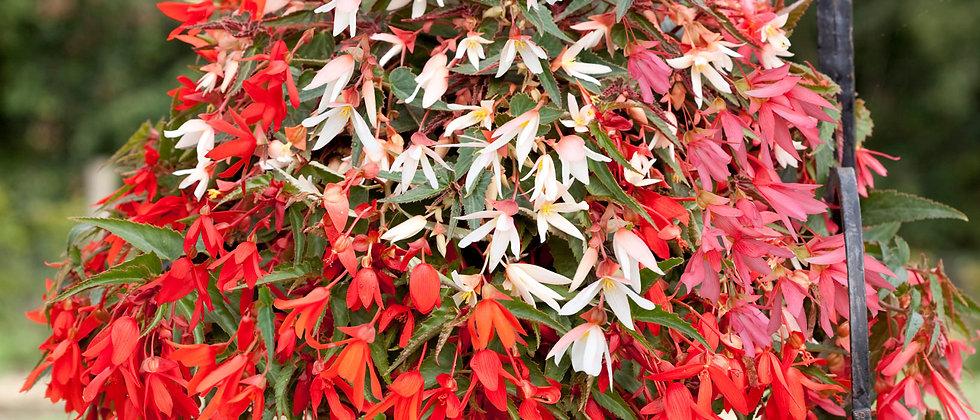Begonia F1 Boliviensis (Colgante)