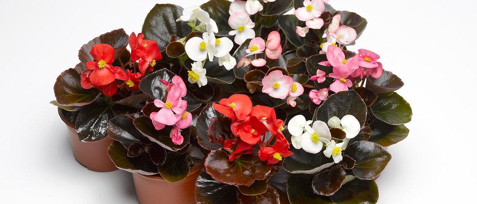Begonia F1 Flor de Azúcar