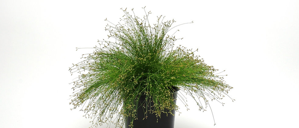 Isolepis