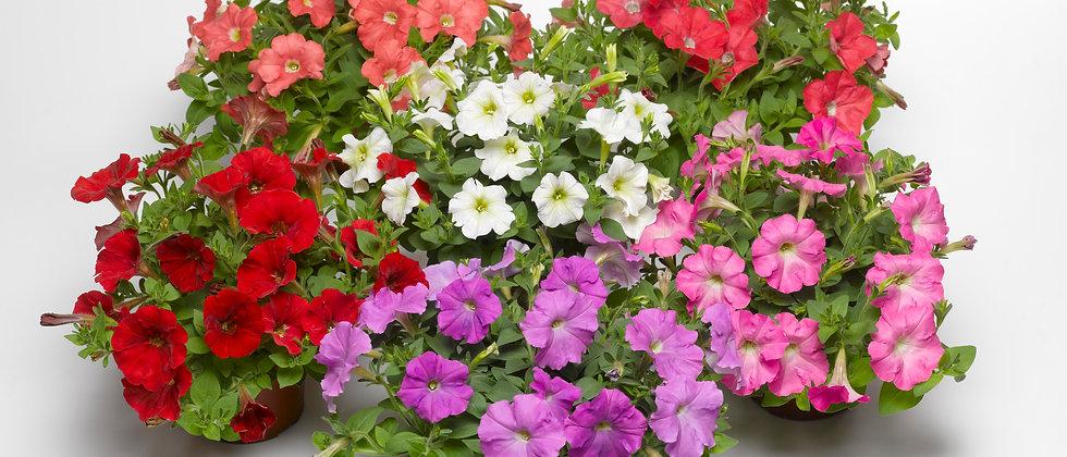 Petunia F1 Milliflora