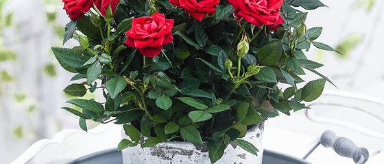 Gajo Mini Rosa
