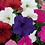 Thumbnail: Petunia F1 Multiflora