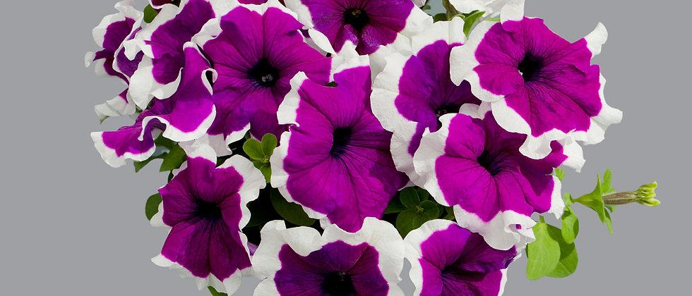 Petunia F1 Grandiflora Compacta