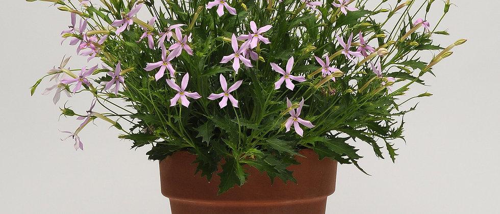 Laurentia (Isotoma)