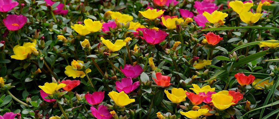 Portulaca Oleracea (Poppy)
