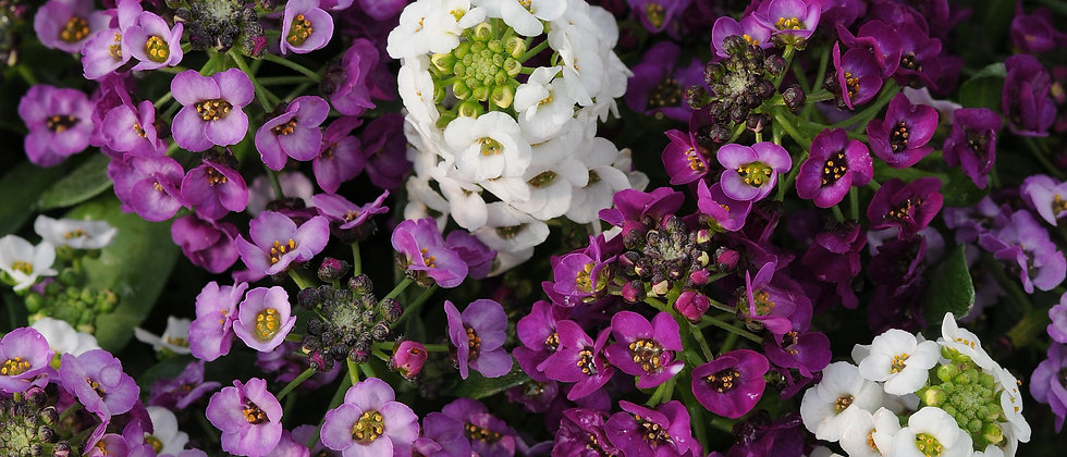 Alyssum MP