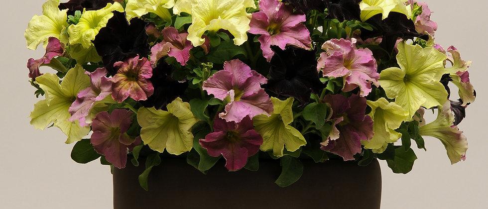 Petunia F1 Grandiflora (Colores Únicos)