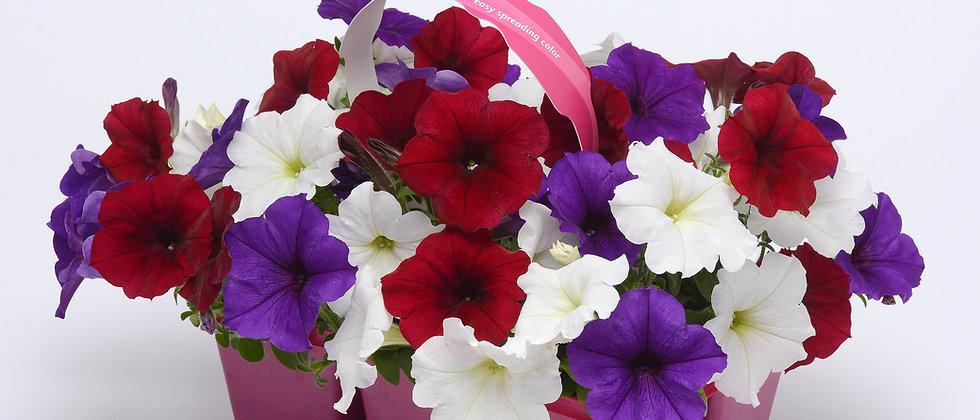 Petunia F1 Grandiflora Rastrera Colgante
