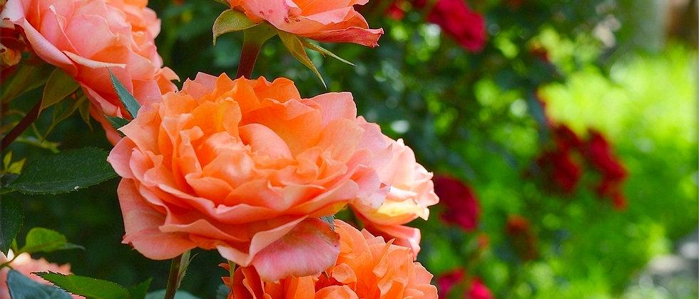 Gajo Rosa Floribunda