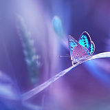 Beautiful blue butterfly on blade of gra