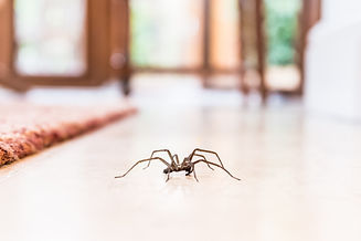 common house spider on a smooth tile flo