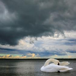 Swan Lake I