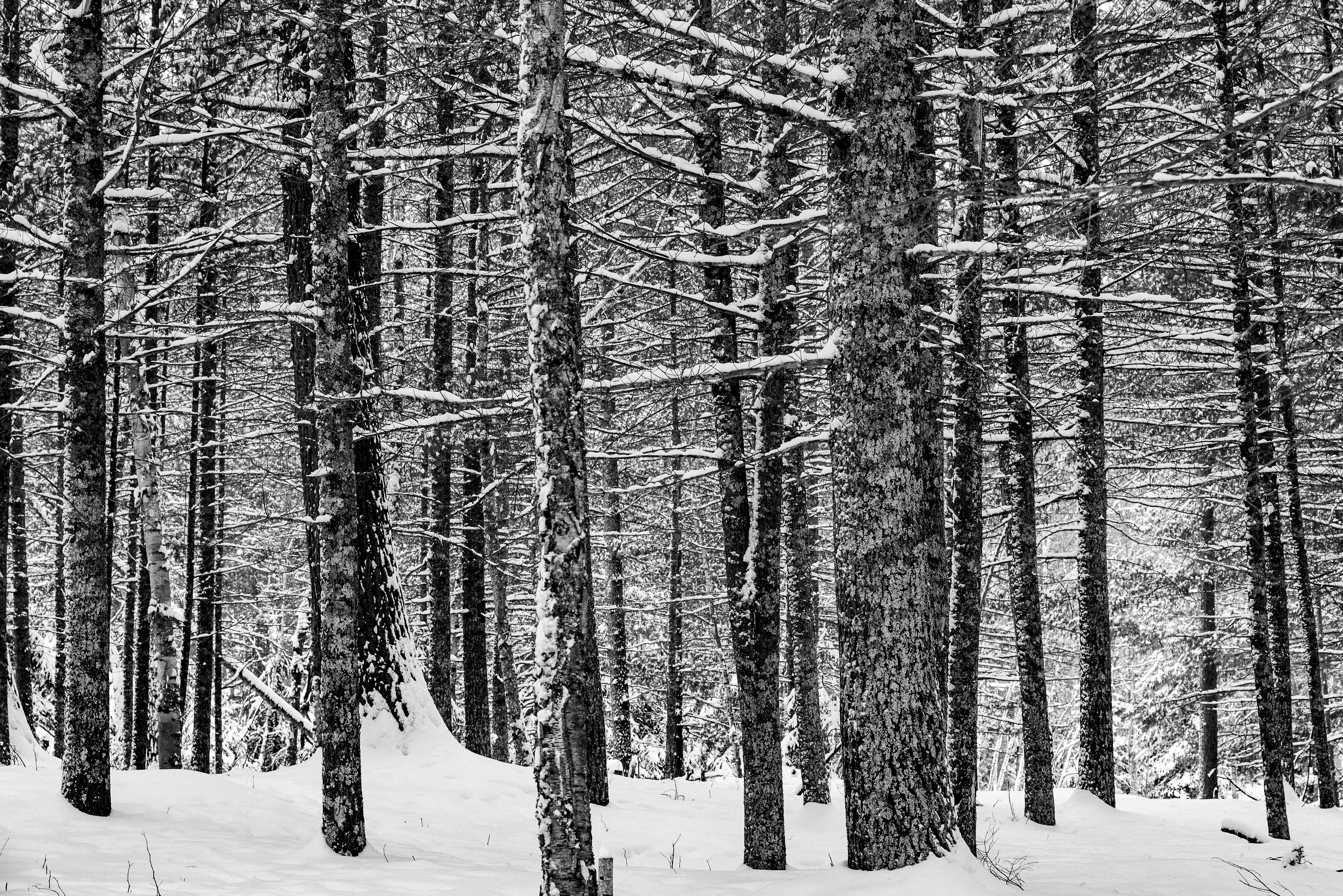 Winter Pines, Petite Lake