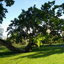 Radley Oak2.jpg