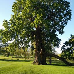 Radley Oak3.jpg