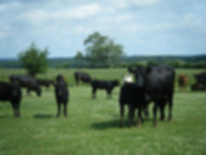 Hornton Grounds COWS IN PASTURE.jpeg
