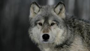 Gestalttherapie, Engelwolf-Schamanismus & Leibmagie im Dezember 2022