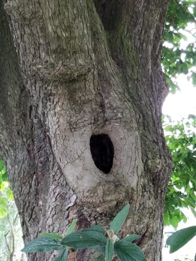 Hole in  an oak tree makes a safe home for a small animal, R. Richen