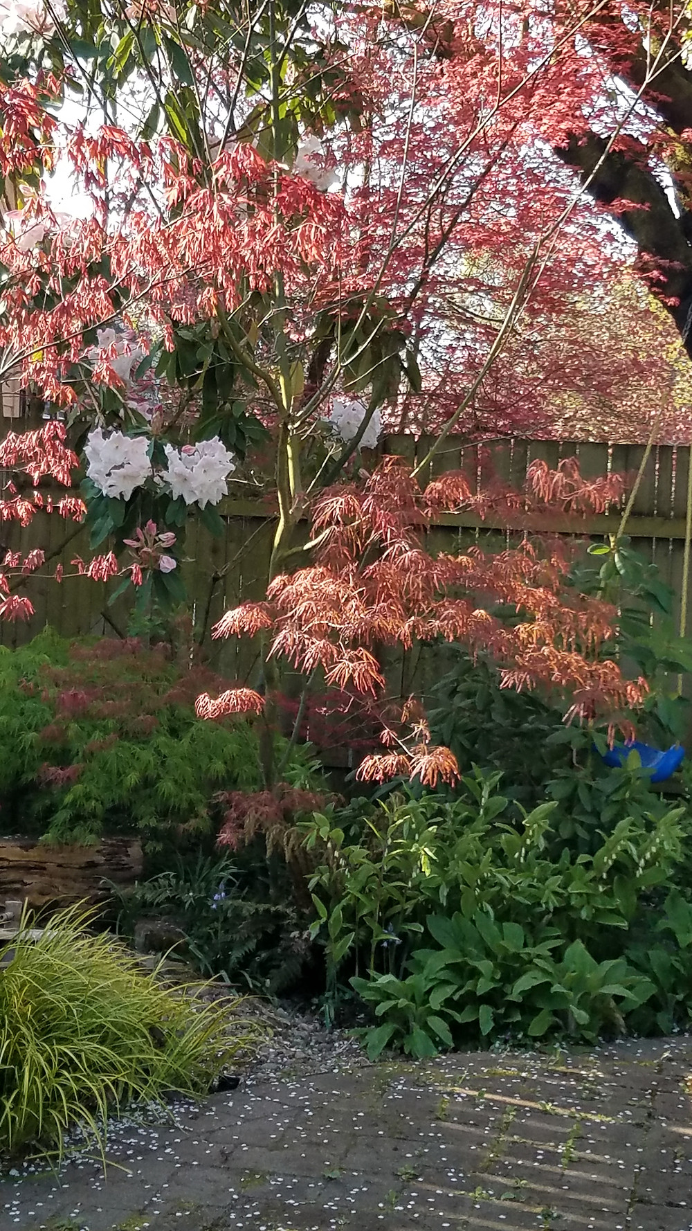 A very tall rhododendron with white flowers, and a red-leaved Japanese maple in the corner wher the plum once lived.