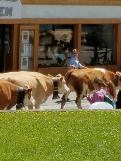 Tan cows with bells, follow herders up main street and into better summer pasture.