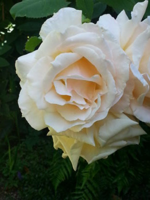 A white and pink rose in the garden.