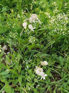 Sweet Woodruff has fairy-small flowers. Dutchman's breeches are white pantaloons.