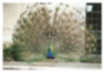 Peacock-about.jpg