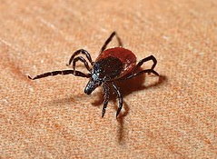 Tick-ocalypse Now! COVID increases tick hazards.