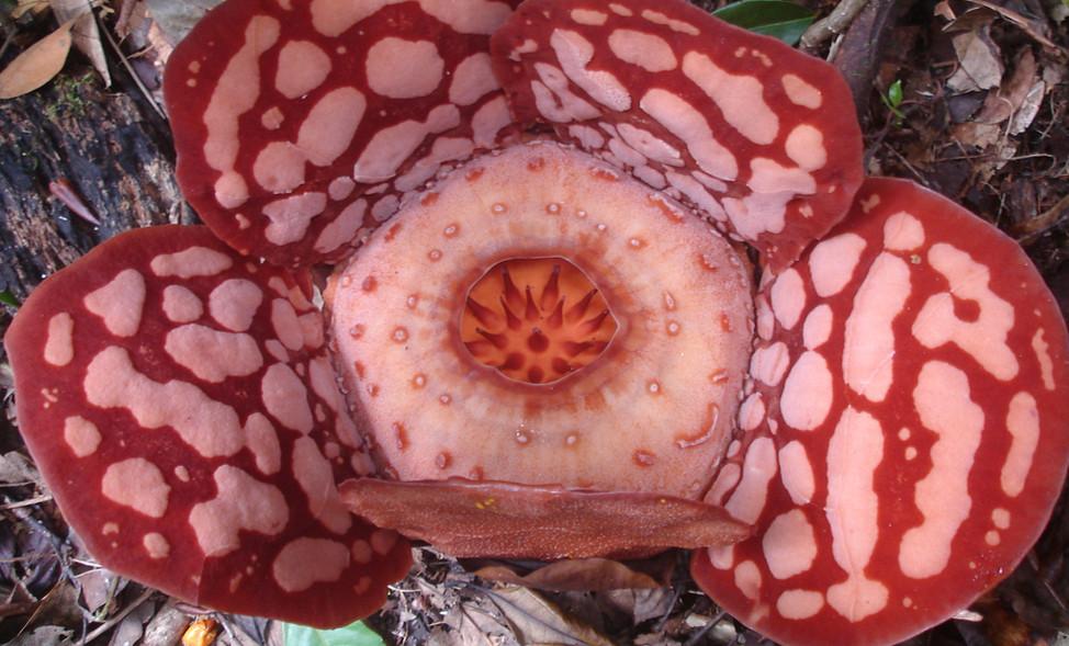 Rafflesia
