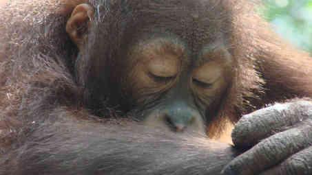 Sleepy_orang