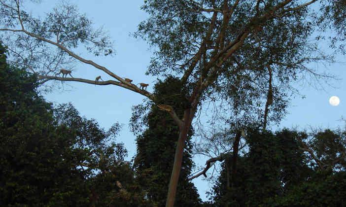 a few proboscis monkeys