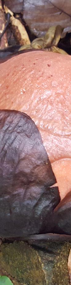Young Rafflesia