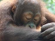 Sleepy_orang.jpg
