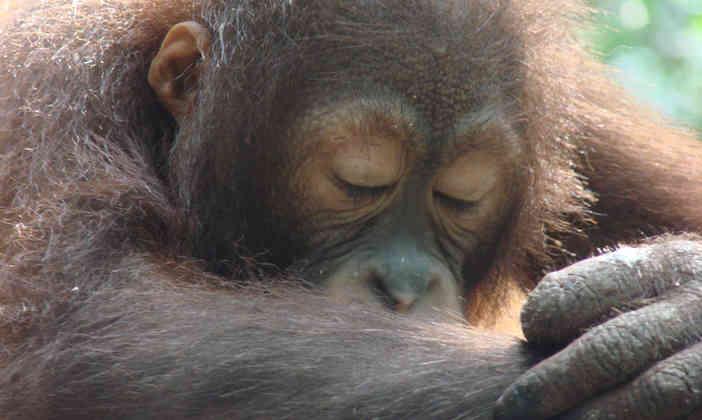 a sleepy orang