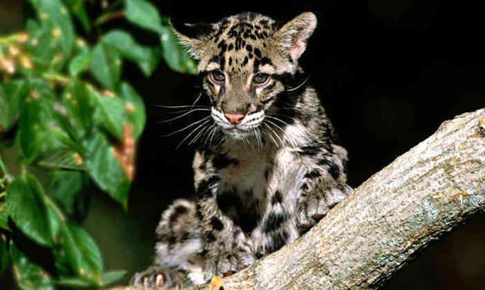 a clouded leopard cub