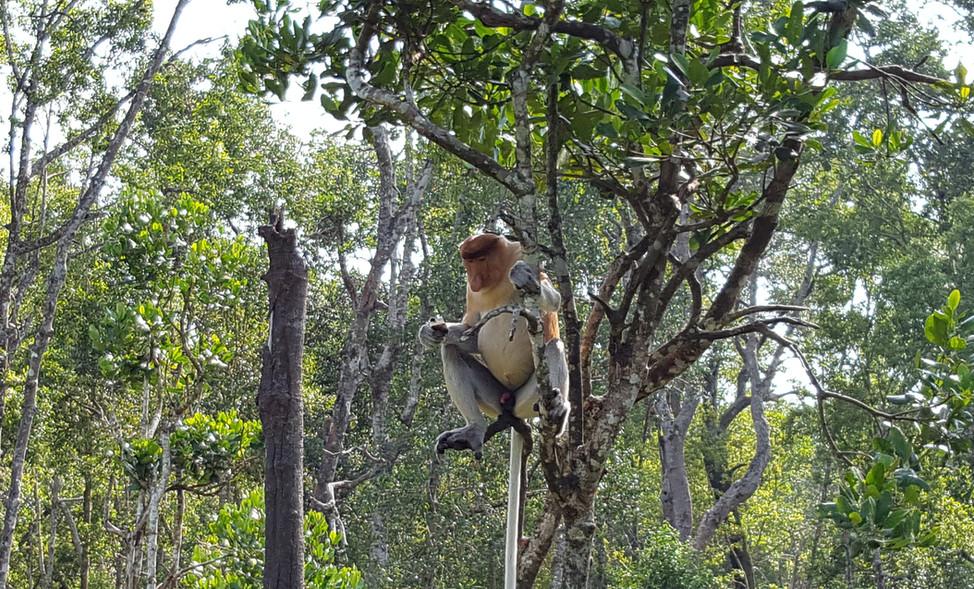 A sleepy proboscis monkey