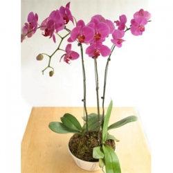 Spring Phalaenopsis