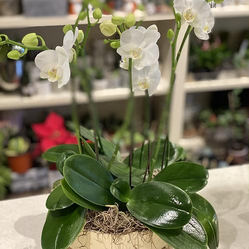 8 stems mini orchids in a pot