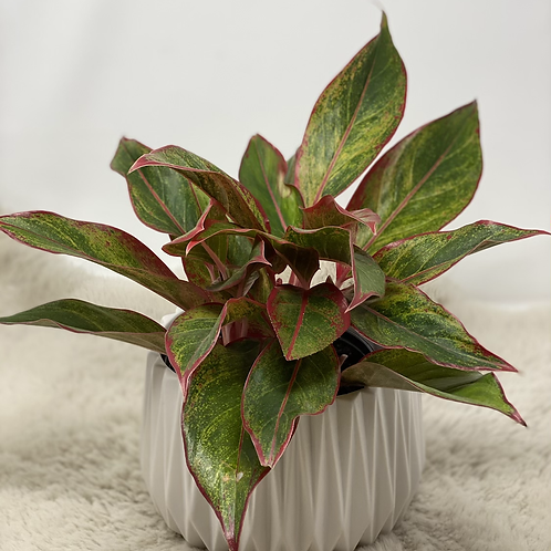 Chinese Evergreen in a pot