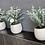 Thumbnail: Eucalyptus plant