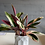 Thumbnail: Stromanthe