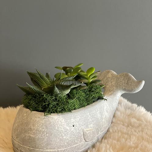 Succulent in a Whale pot