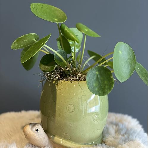 Pilea in a Turtle pot