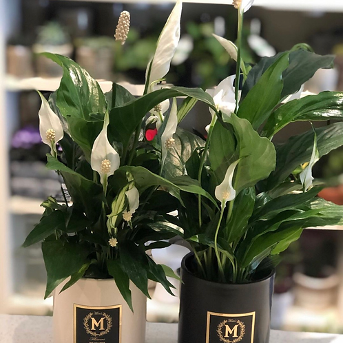 Spathiphyllum-Peace lily (each)