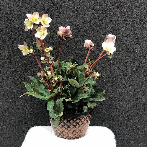 Hellebores Plants (Light pink)