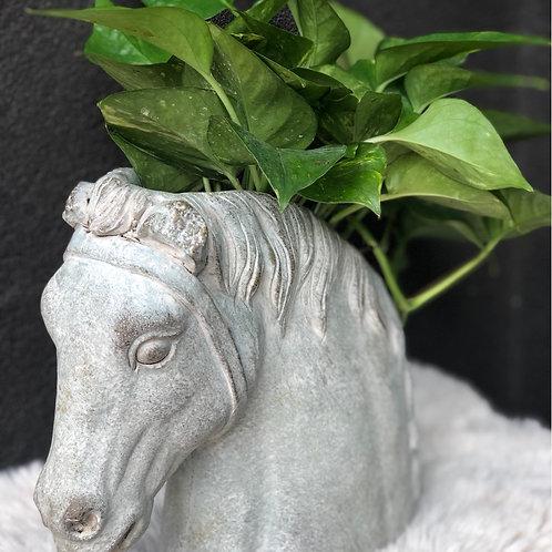 pothos in a horse pot