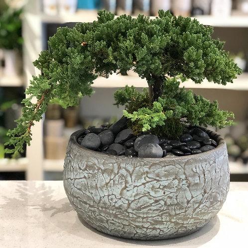 Bonsai -Large #2